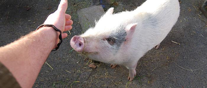 Speedy, le cochon. Grand gourmand, Speedy est aussi un grand amateur de gratouilles ! Il adore partir en vadrouille autour de la ferme avec les enfants !