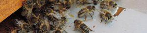 abeilles leçon