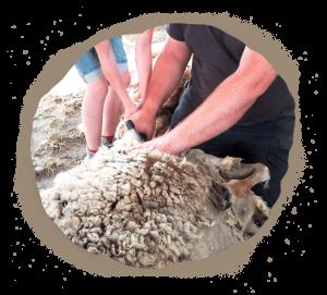 tonte mouton