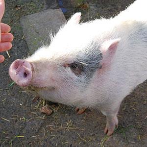 cochon nain